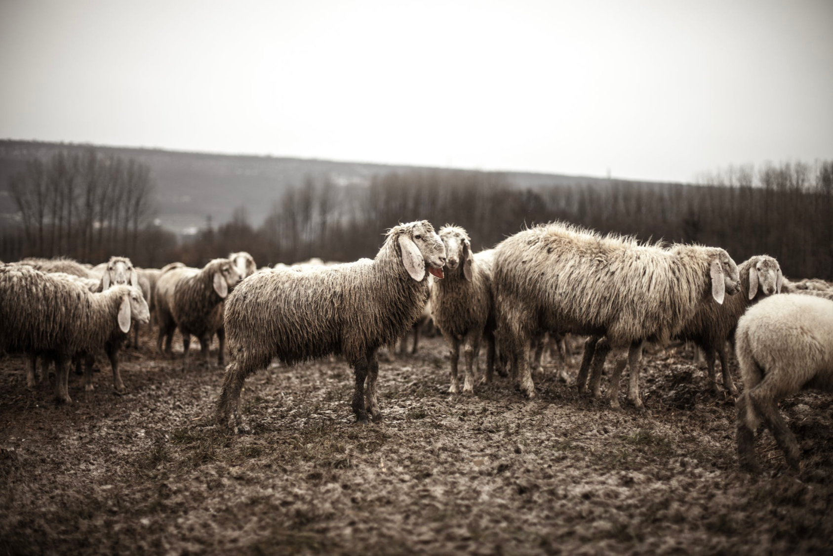 black and white photo of flock of sheep